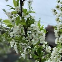 この果樹も白い花が満開に!