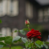 薔薇を見に旧古河庭園へ。