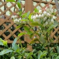 ブルーベリー3種