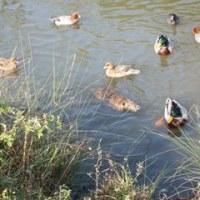 淀川河川敷の散輪とヌートリア