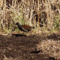 ・ 泉の森 野鳥観察会に参加 2017