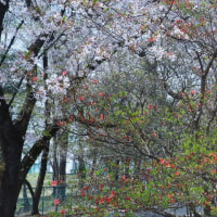 赤城南面千本桜コース / 前橋市 - みやぎ千本桜公園