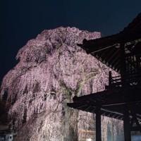 阿弥陀寺の夜桜ライトアップ 2017