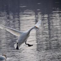 170131-0201_多々良沼と その周辺-10 <白鳥-3>