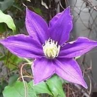 季節の花「クレマチス」