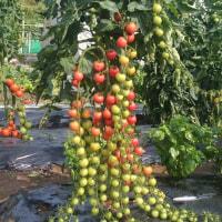 このミニトマト一房100粒以上ついています。