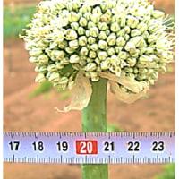 次年度 栽培用 ・・・ 今年 採種用 の 葱坊主 の 定点観測 - 2