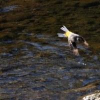 キビタキの飛翔
