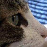 ♀猫こむぎvs掃除機! 仁義なき戦い😸
