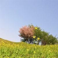 咲き乱れる キツネ草