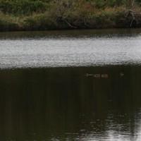 2016年10月8日古徳沼にもマガモ、ヒドリガモが入る