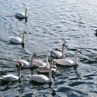 穏やかな冬の日、伯母さんを連れだして烏川の白鳥に会いに行ってきました