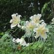 山百合の花の写真を撮りに奥多摩までドライブしてきました