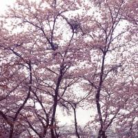 亀居公園の桜