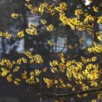 黄色いマンサクの花