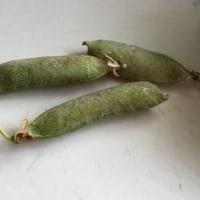 ぷっくり豆
