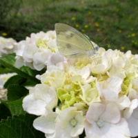 アジサイの花に紋白蝶