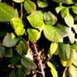 樹木ウォッチング冬から夏へ225ツルマサキ1