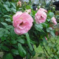 雨で頭を垂れてます バラのストロベリーアイス