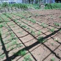 2017年6月4日 今年も、安納芋の苗を植えました
