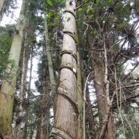 里山ぶらり-巻き付かれた杉木