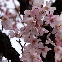 川越街道に梅の花