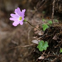 箱根に咲く春の野草
