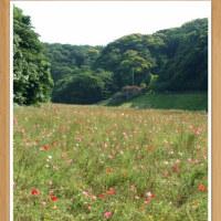 横浜八景島シーパラダイス&横須賀くりはま花の国ポピーまつり