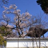 宝寿院の桜~市川三郷町①