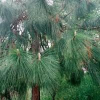 松の木と根っこ様、、久しぶりなのじゃ