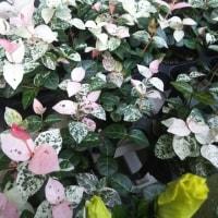 レモンマートルの美しい白い小花、ピンクのハツユキザクラ、紫と白のアンゲロニア、セダム玉つづり!