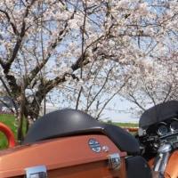 昼の桜に夜の桜