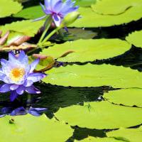 モネの庭マルモッタンの青いスイレン(高知県北川村モネの庭 2016年8月21日)