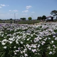 菖蒲町で花菖蒲とラベンダー