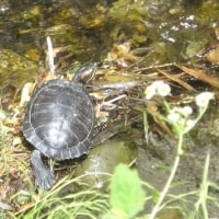玉川上水の生き物