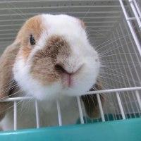 ウサギ専門診療科74 精巣腫瘍