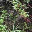 奄美大島の帰化植物:ヨウシュヤマゴボウ