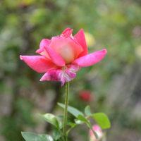 小ぶりですが可愛いバラです