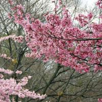 河津桜とオカメ桜