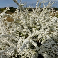 ユキヤナギの盛りです…多摩川春景色シリーズ