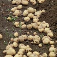 ジャガイモを収穫しました。