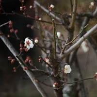白梅花が咲きました