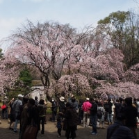 枝垂桜見物