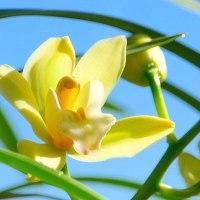 洋ランの王様・・・シンビジウムの花が咲きだした
