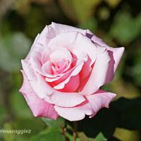 春芳    日本のバラ