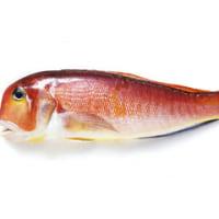 またまた・謎の魚の正体が判明・・・・アマダイに似た魚⇒テンスと言う魚でした!!(西伊豆ボートフィッシング)