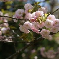 八重桜を・・・