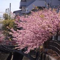松戸宿 坂川のさくらまつり