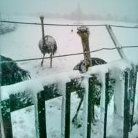 天候が悪いですがダチョウさんはまだ放牧中です
