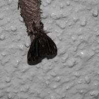 ミノムシの羽化(チャミノガ?)